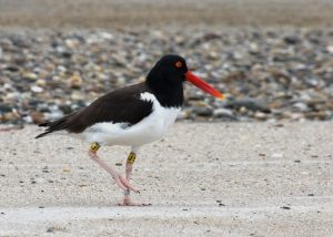 American Oystercatcher on the beach